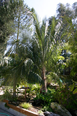 Parjubaea Torallyi - Mountain Coconut Palm